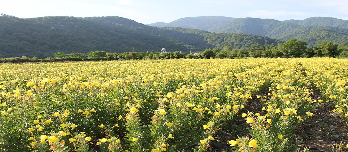 مزرعه کشت و صنعت داروسازی گیاه اسانس